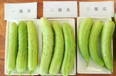 海阳白黄瓜